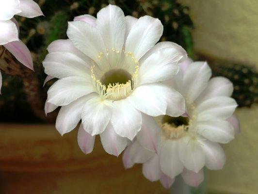 11.5. / Sepp, Kaktusblüten 11 Stk. auf einmal aufgegangen