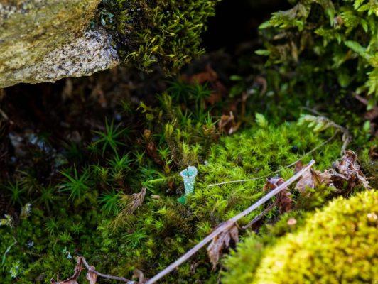 2.4. / Arno, Cladonia Fimbriata (Trompetenflechte)