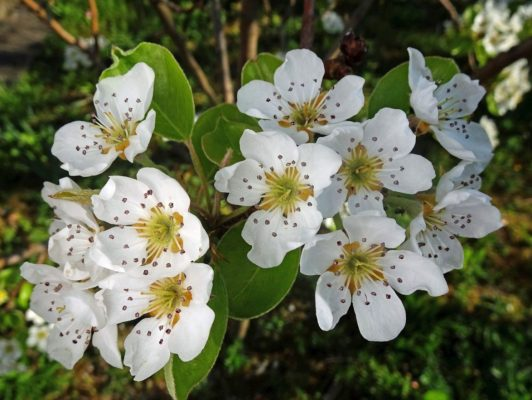 11.4. / Köbi, Ostergruss aus seinem Garten, Birnbaum-Blüte