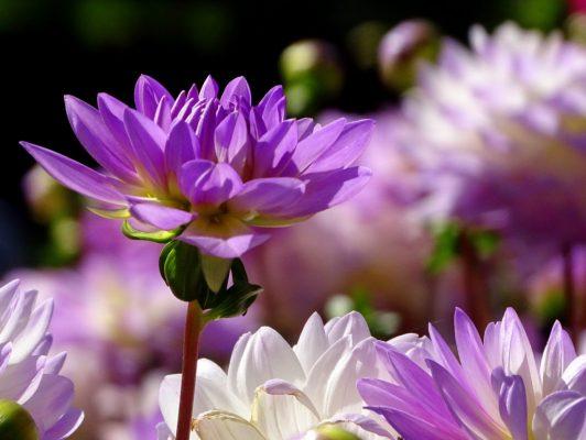 11.11. Marianne / Herbstastern in voller Blüte