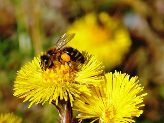 28.3. / Sepp, die fleissige Biene nimmt ein Bad im Blütenstaub